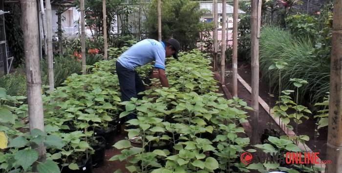 Agus Arifin saat merawat tanaman di Terpadu UIN. Taman tersebut berada di samping lapangan tenis, di belakang gedung Fakultas Ushuludin. (Foto: Ratu Arti Wulan Sari)